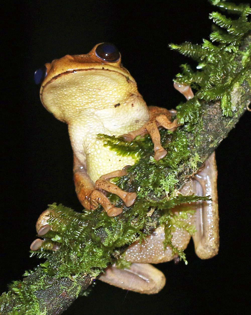 Frog, Ecuador (image by Damon Ramsey)
