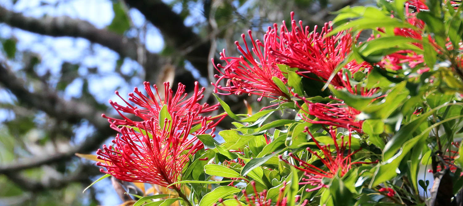 Waratah Tree (image by Damon Ramsey)