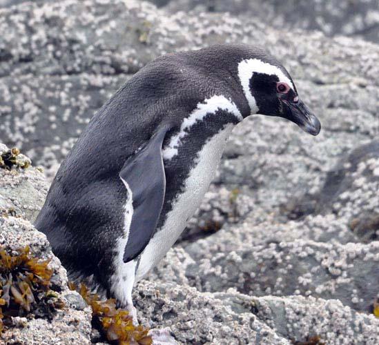 Magellanic Penguin (image by Damon Ramsey)