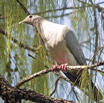 Island Imperial Pigeon, Arnavon Islands (ww.ecosystem-guides.com)