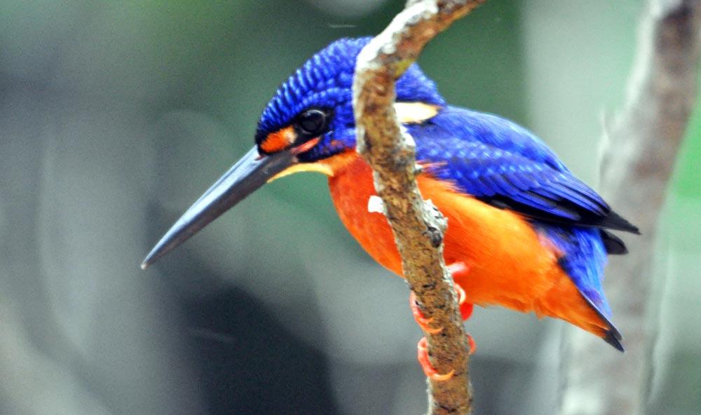 Blue-eared Kingfisher (image by Damon Ramsey)