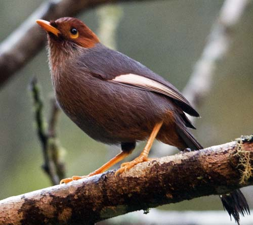 chestnut-capped laughing thrush, Mesilau