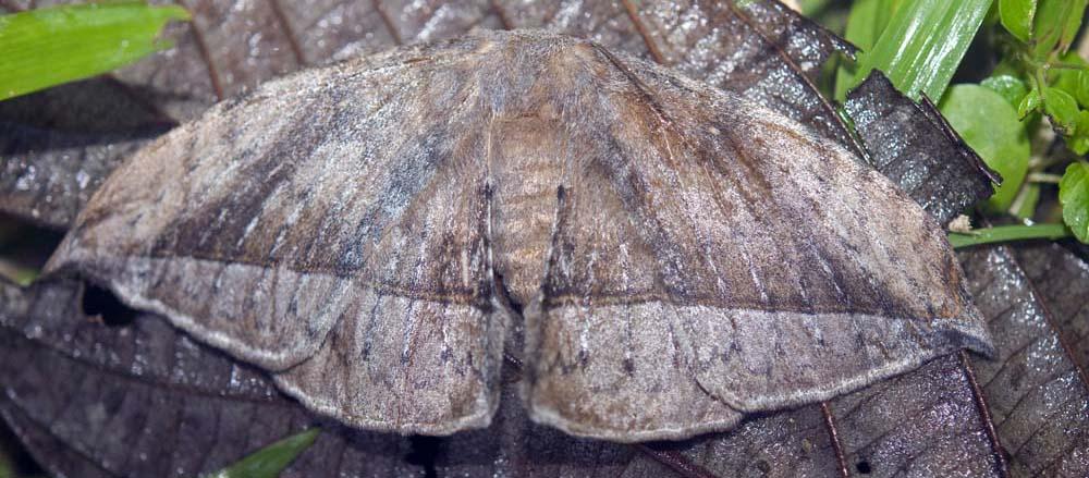 Moth that looks like dead leaf (image by Damon Ramsey)