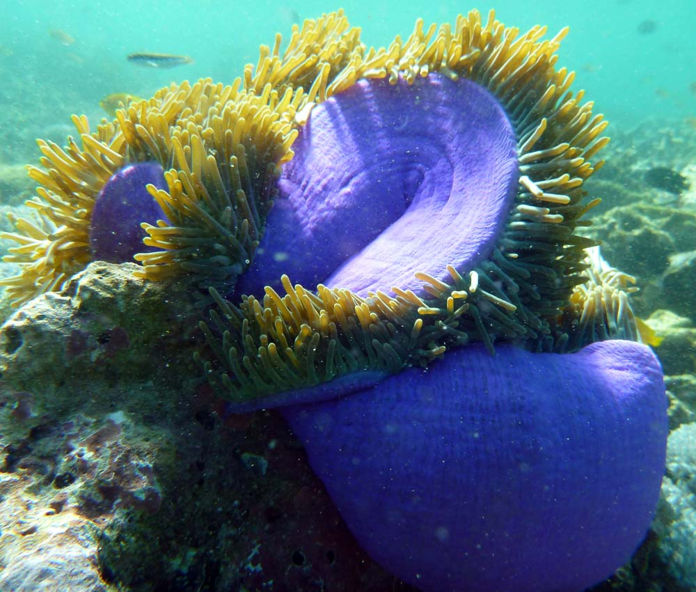 an anemone, half closed, coral reef off Pink Beach, Komodo.