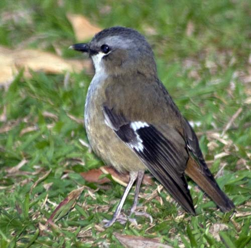 grey headed robin