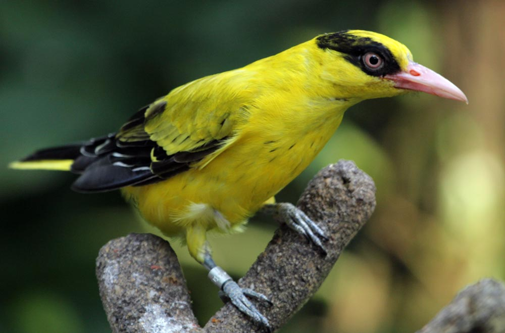 a Black-naped Oriole, colourful birds of Singapore's trees and gardens (image by Damon Ramsey, www.ecosystem-guides.com)