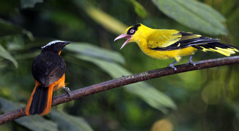 a Black-naped Oriole having a fight (Damon Ramsey, www.ecosystem-guides.com)
