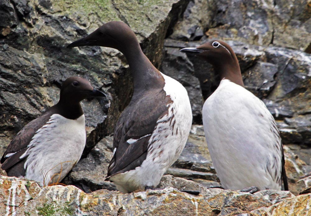 Guillemot, St.Kilda Islands, (Damon Ramsey, www.ecosystem-guides.com)
