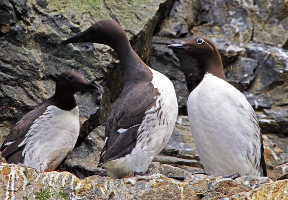 Guillemot, St.Kilda Islands, (Damon Ramsey, www.ecosystem-guides.com)