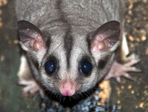 Sugar glider (photograph by Damon Ramsey www.ecosystem-guides.com)