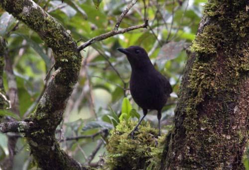 Bornean Whistling Thrush, Mesilau