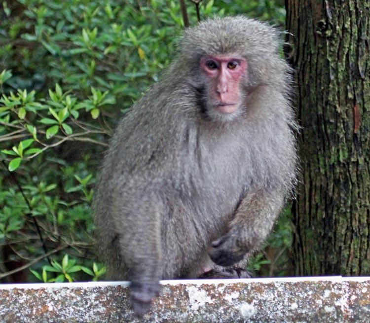 'Japanese Macaque', Yakushima Island, (image by Damon Ramsey, www.ecosystem-guides.com)