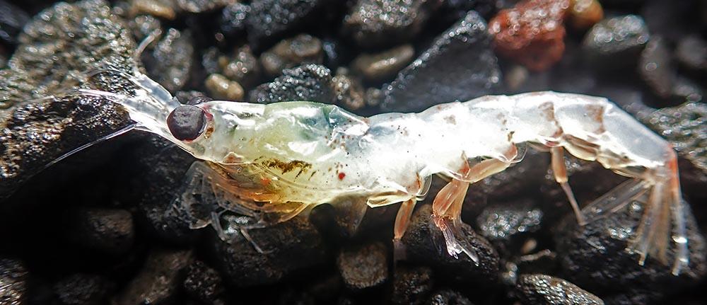 Krill (image by Damon Ramsey)