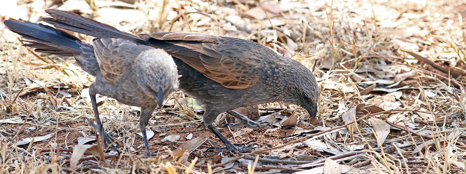 two Apostlebirds (image by Damon Ramsey)