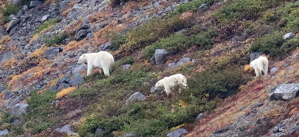 Polar Bear family (image by Damon Ramsey)