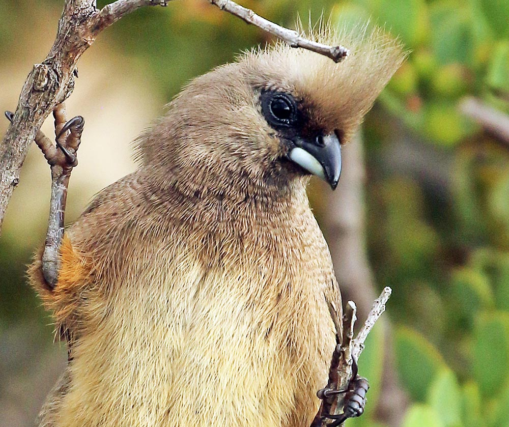 Speckled Mousebird (image by Damon Ramsey)