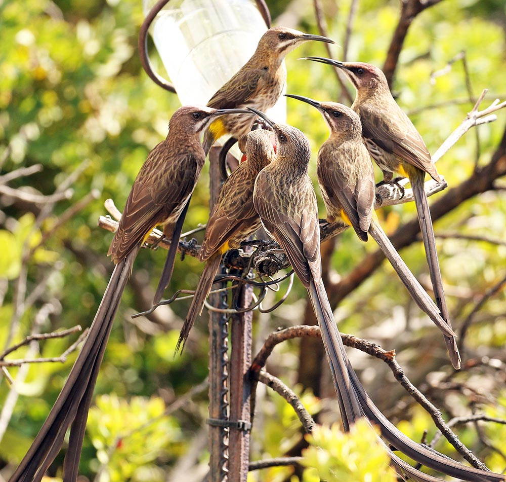 Sugarbirds at feeder (Image by Damon Ramsey)