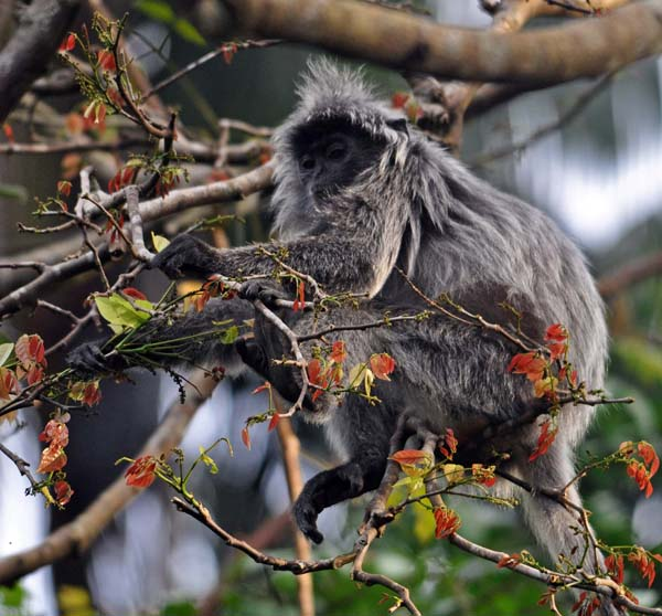 silver leaf monkey, Bako national park
