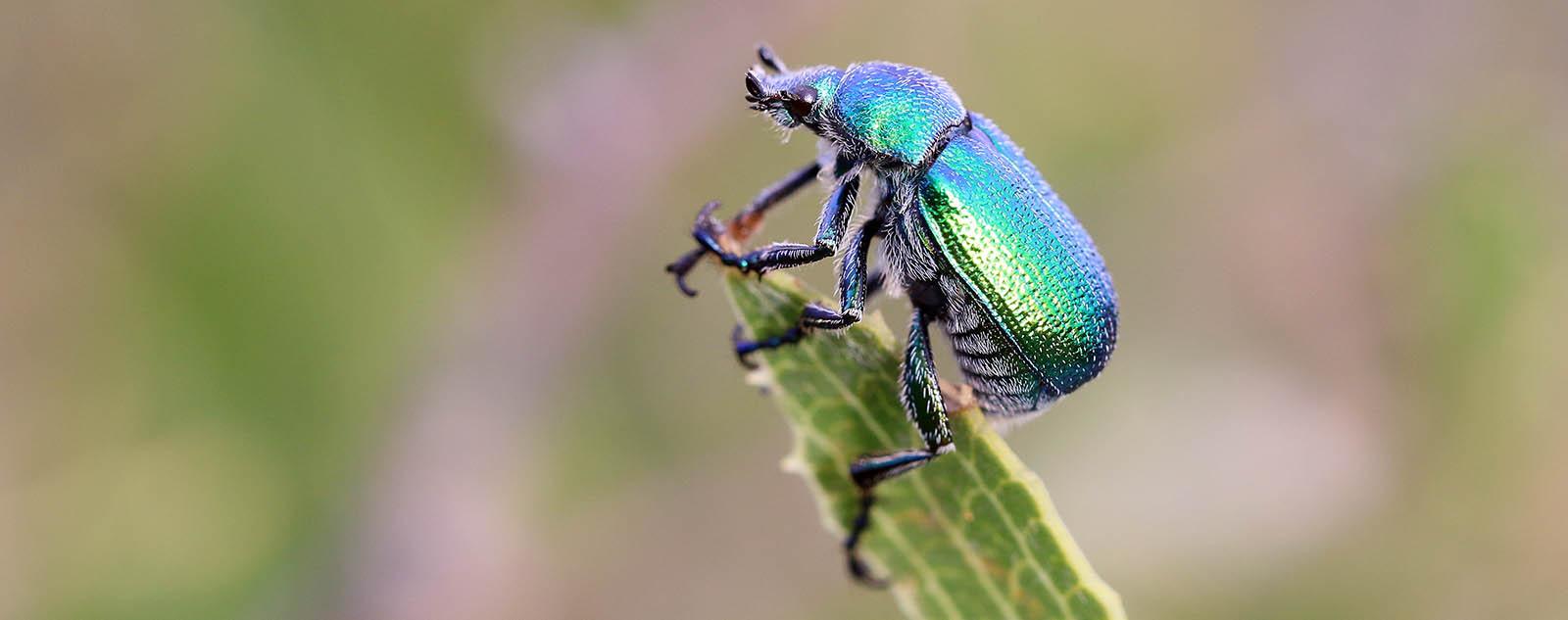 Jewel Beetle (image by Damon Ramsey)