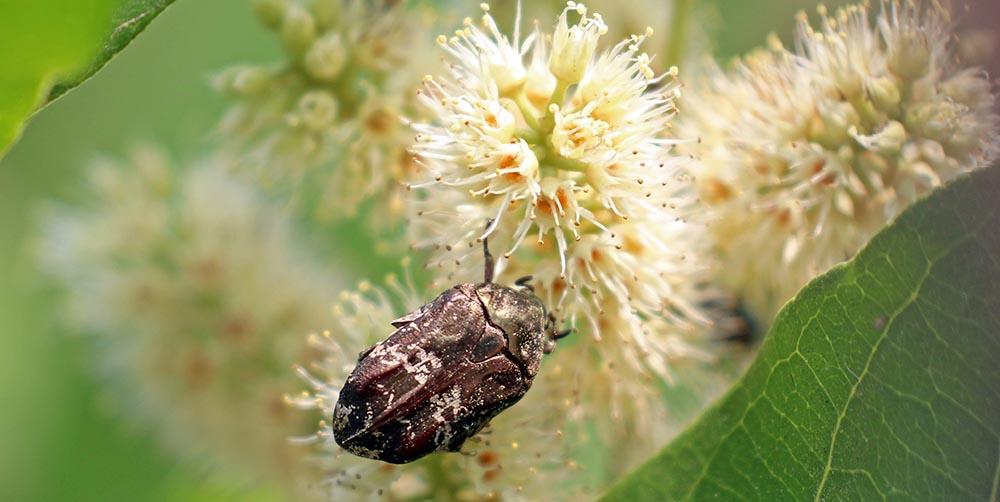 Beetle (image by Damon Ramsey)