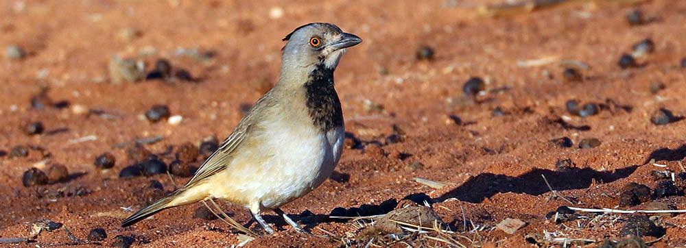Crested Bellbird (image by Damon Ramsey)