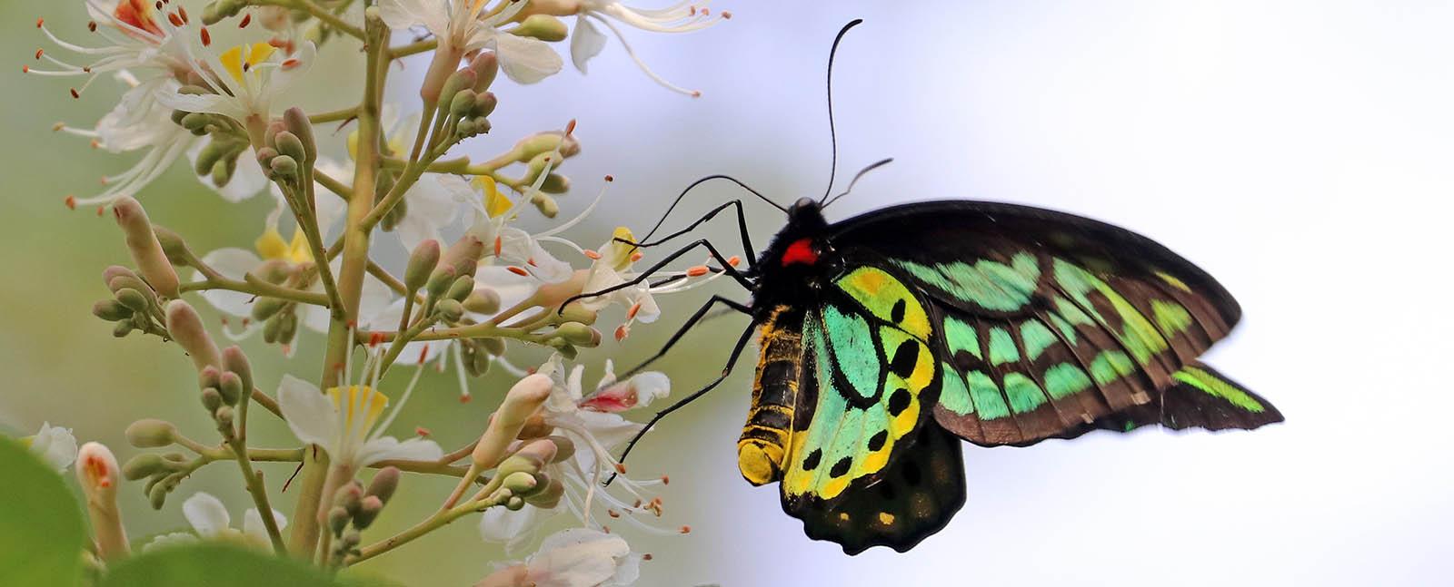 Richmond Birdwing Butterfly (image by Damon Ramsey)