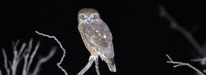 Boobook Owl (image by Damon Ramsey)