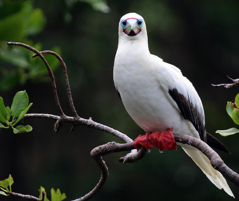 Red-footed Booby, New Guinea (image by Damon Ramsey)