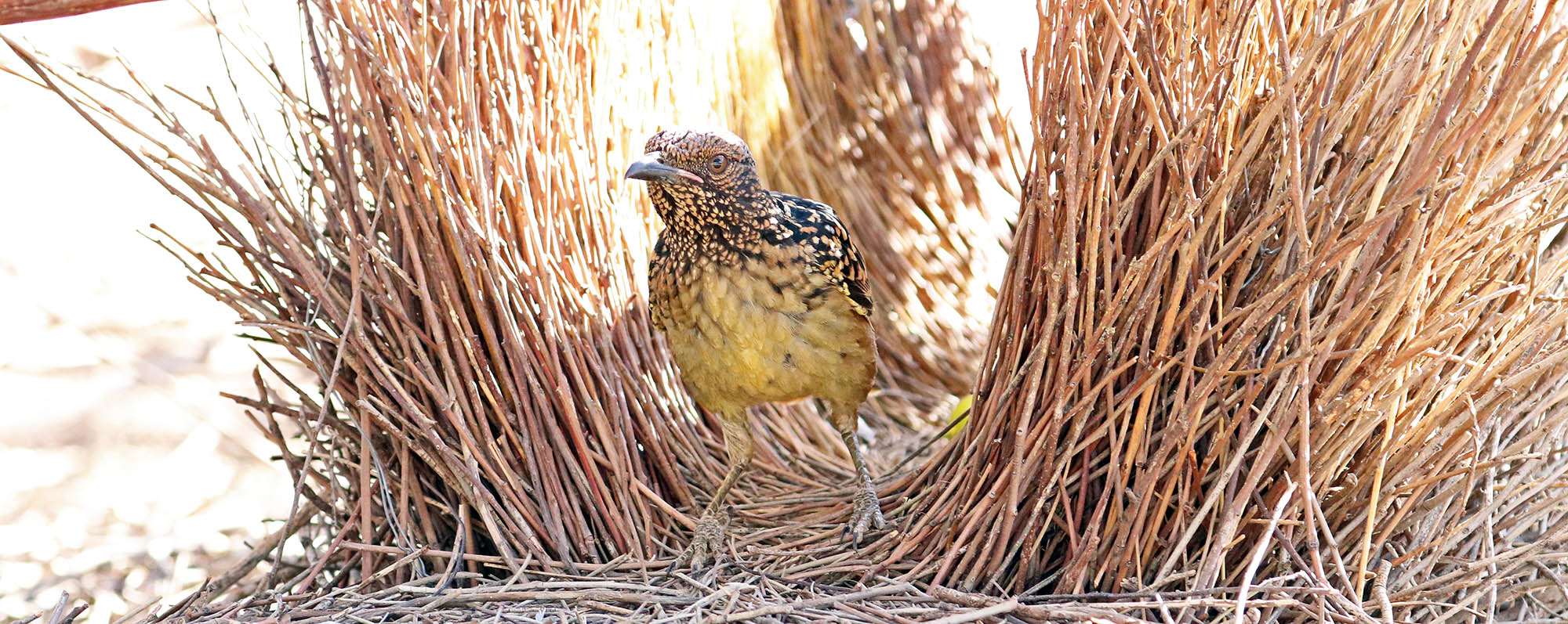 Western Bowerbird at bower (image by Damon Ramsey)