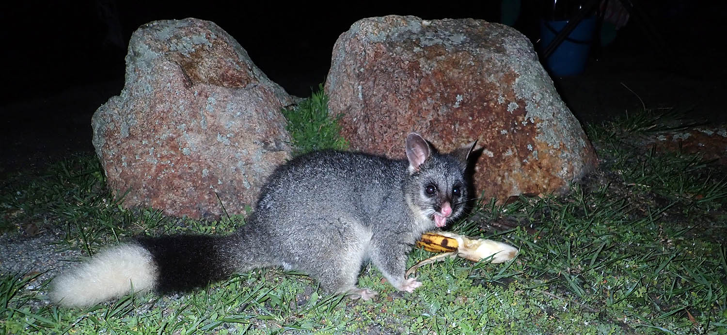 Brushtail Possum with white tail (image by Damon Ramsey)