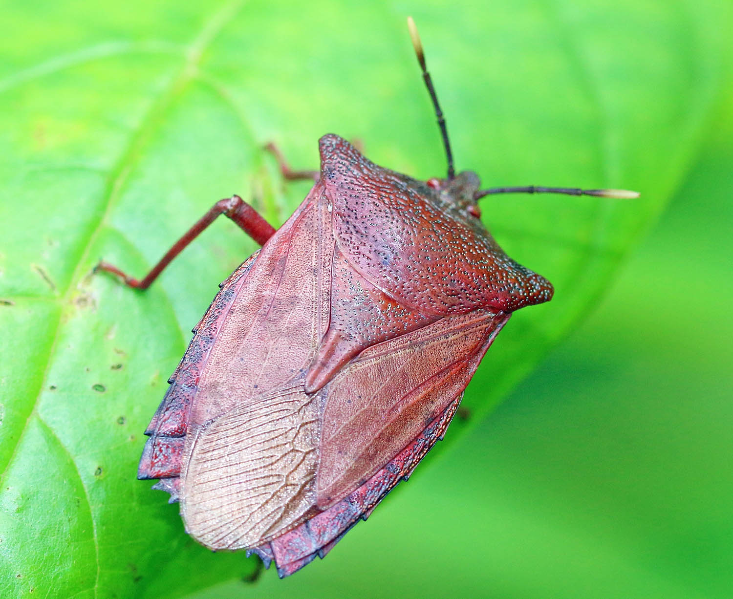 Giant Stink Bug (image by Damon Ramsey)