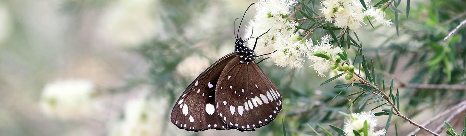 Euploea core, 'Common Crow Butterfly' (image by Damon Ramsey)