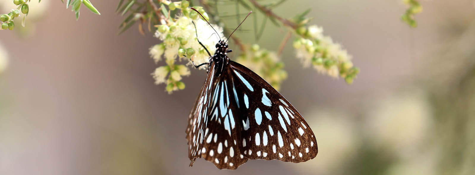 Tirumala hamata, 'Dark Blue Tiger Butterfly' (image by Damon Ramsey)