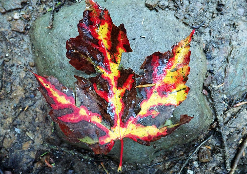 Maple Leaf (image by Damon Ramsey)