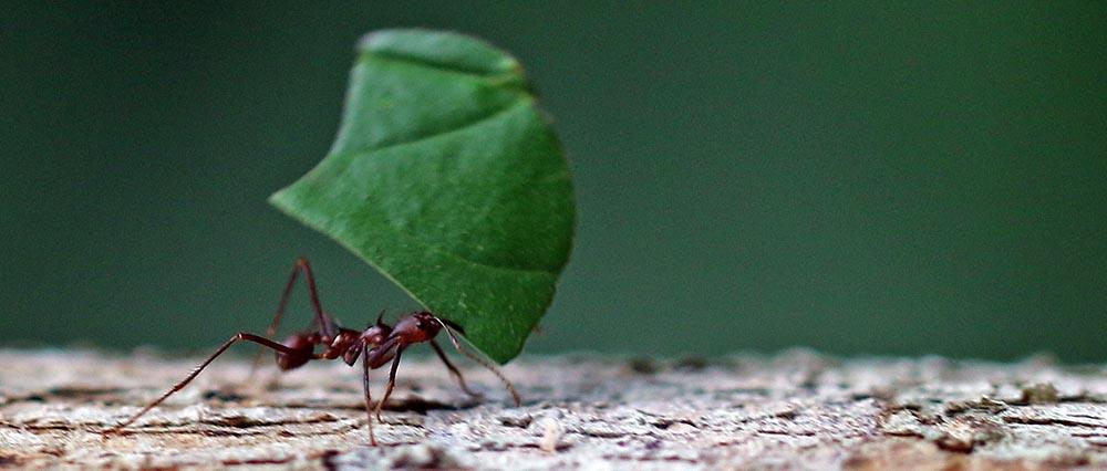 'Leaf-cutter Ant'