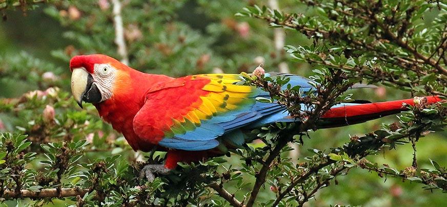 Ara macao, 'Scarlet Macaw', 'Aracanga' (image by Damon Ramsey)