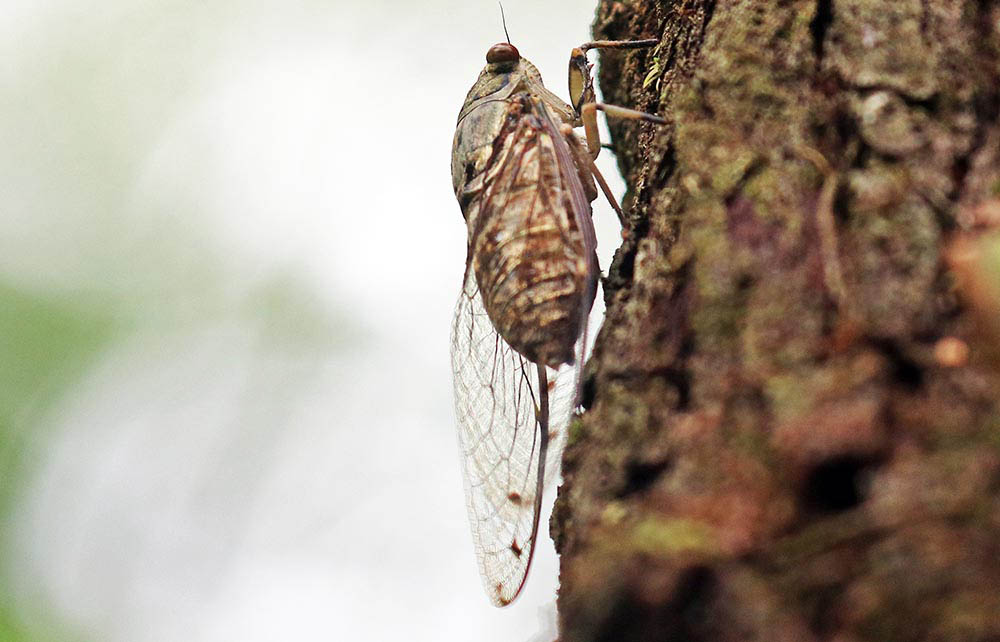 Cicada in tropical Asia (image by Damon Ramsey)