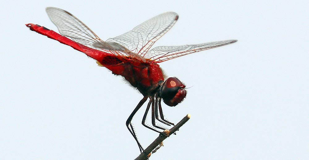 red Dragonfly (image by Damon Ramsey)