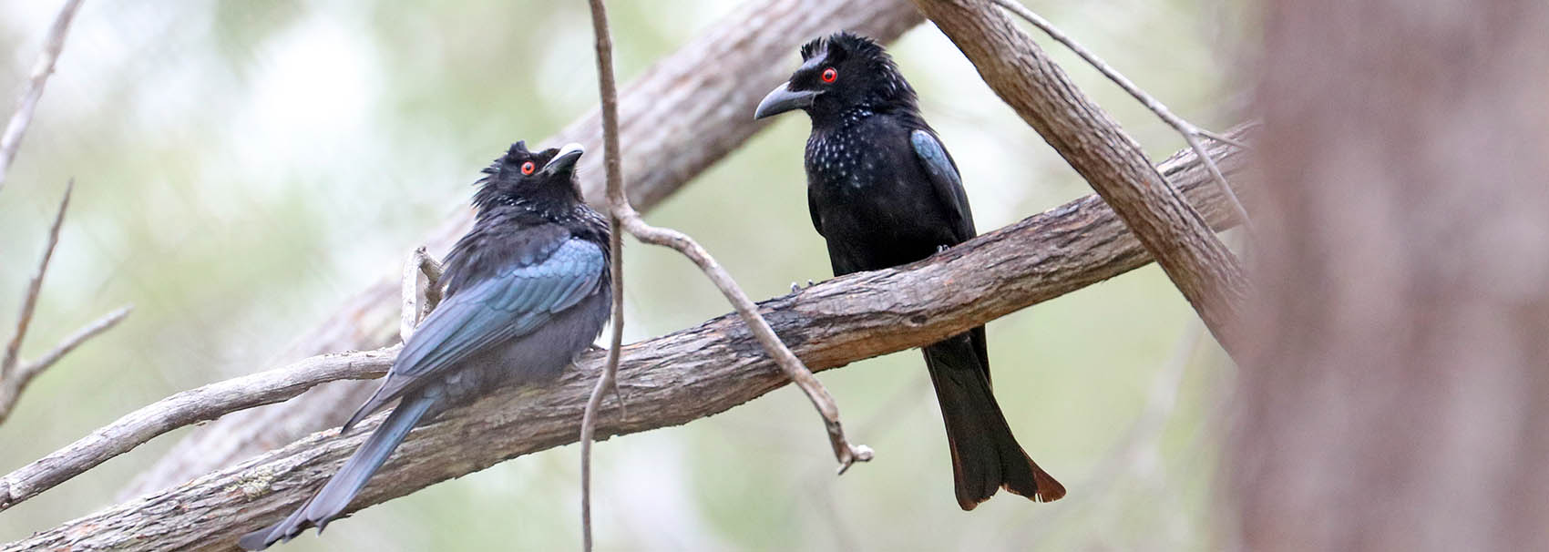 Spangled Drongo (image by Damon Ramsey)