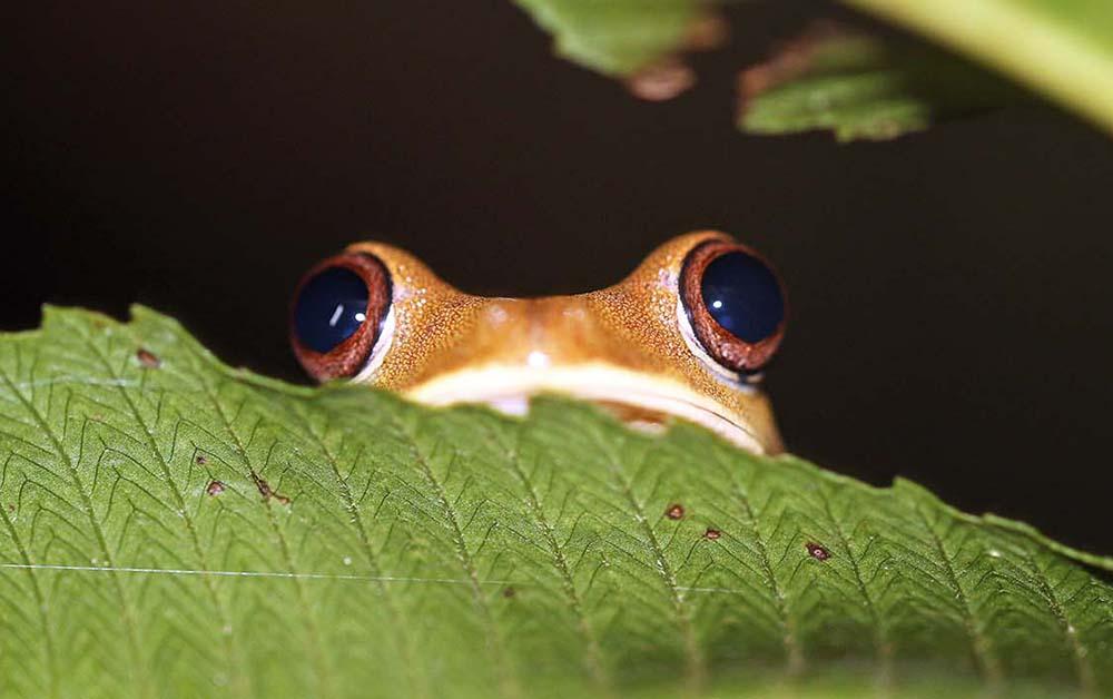 Frog eyes in Amazon (image by Damon Ramsey)