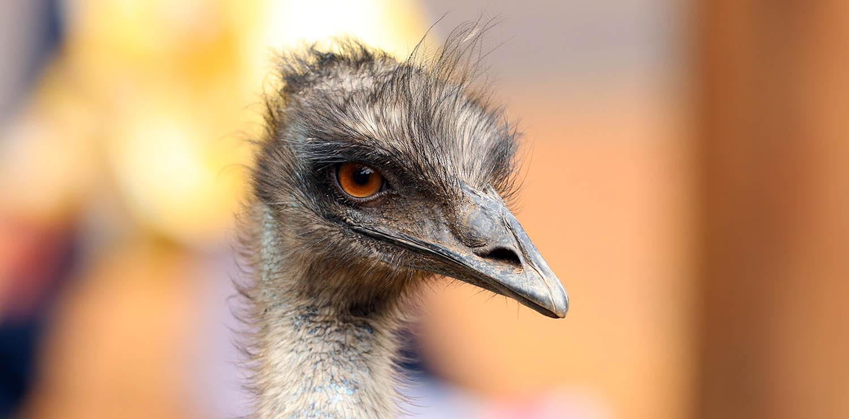 Emu (image by Damon Ramsey)