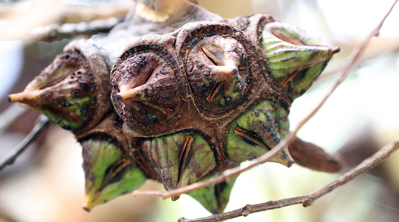 The bizarre spiky gum nuts of Eucalyptus lehmannii, 'Bushy Yate' (image by Damon Ramsey)