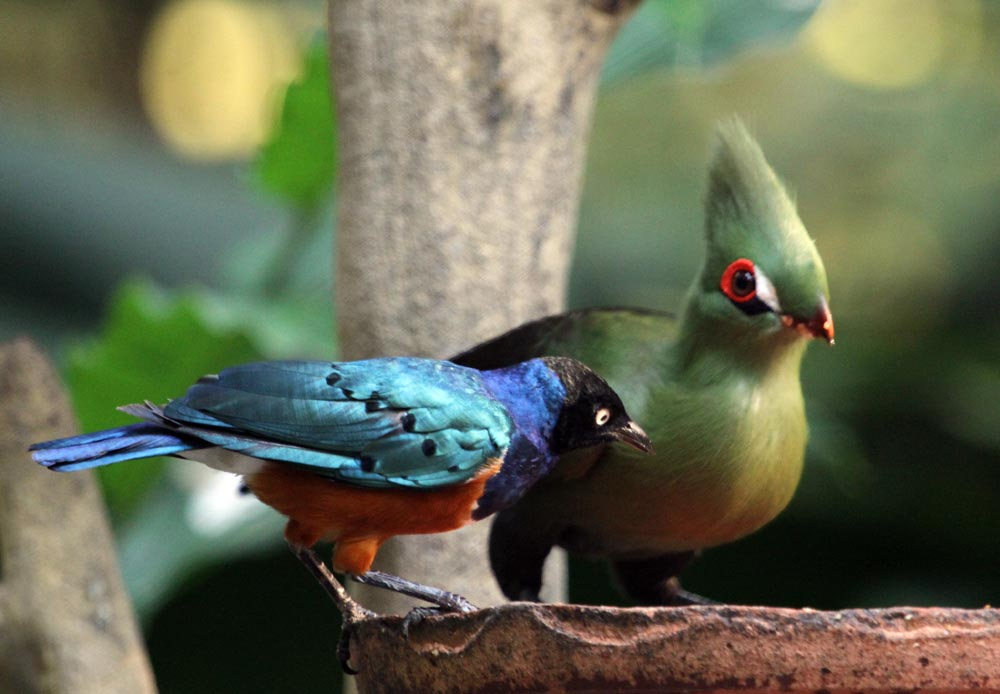 Image of a Livingstone Turaco and Starling feed side by side in the African waterfall section (Damon Ramsey, www.ecosystem-guides.com)
