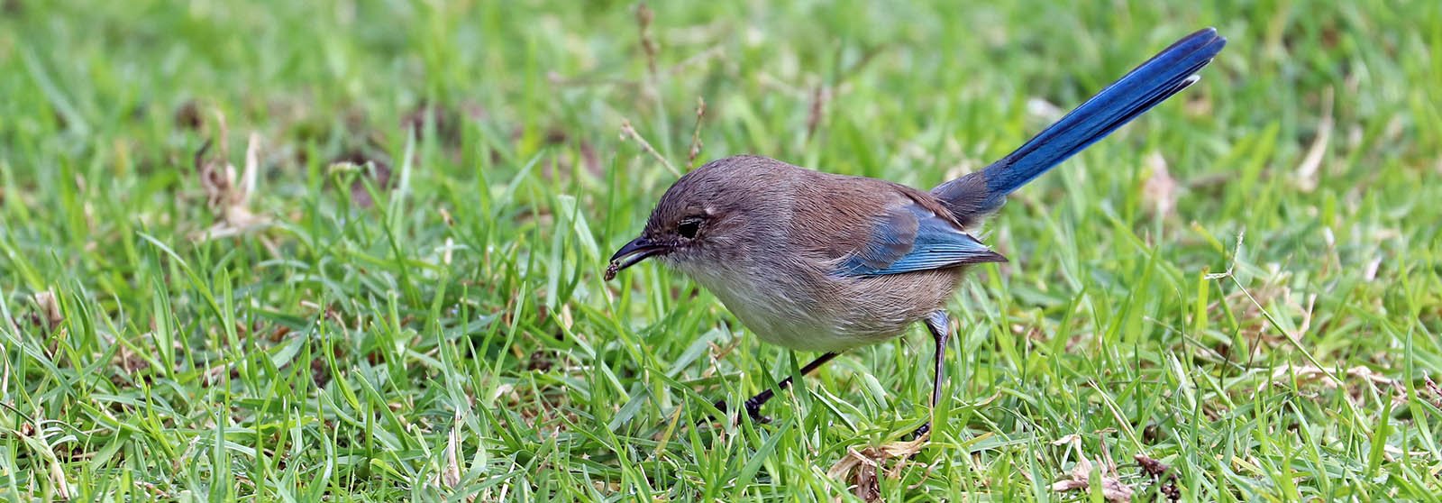 Fairy Wren catching insect (Image by Damon Ramsey)