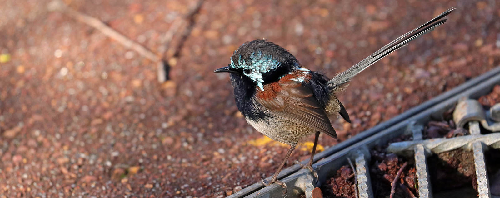 Red-winged Fairy Wren (image by Damon Ramsey)