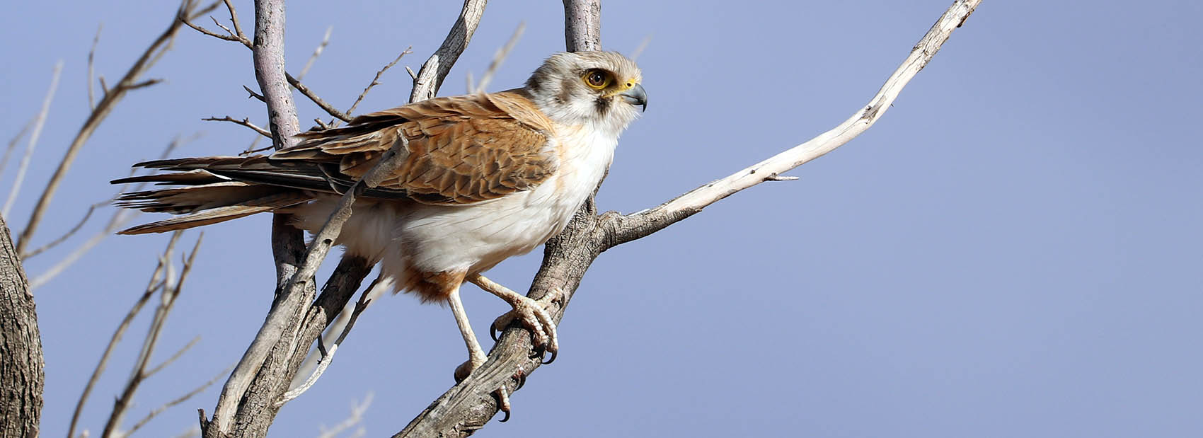 Brown Falcon (image by Damon Ramsey)
