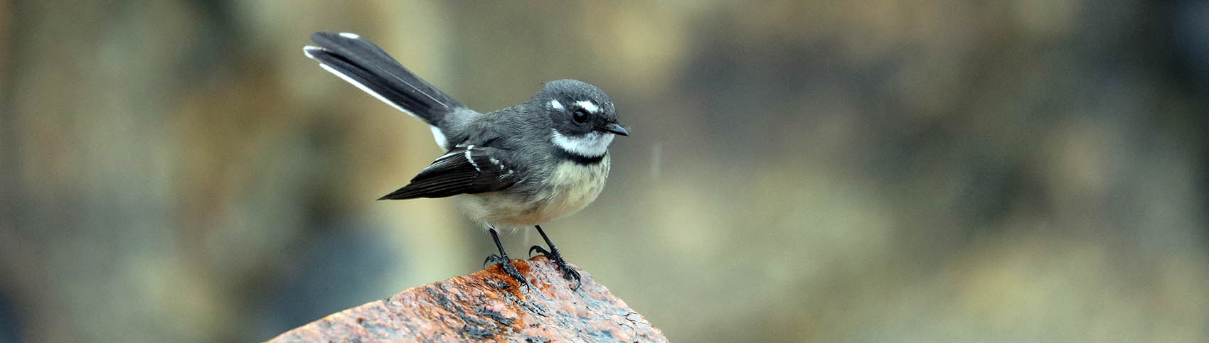 Grey Fantail (image by Damon Ramsey)