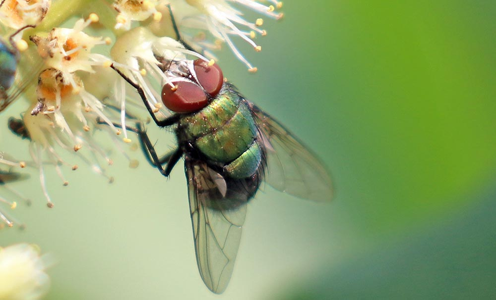 Fly (image by Damon Ramsey)