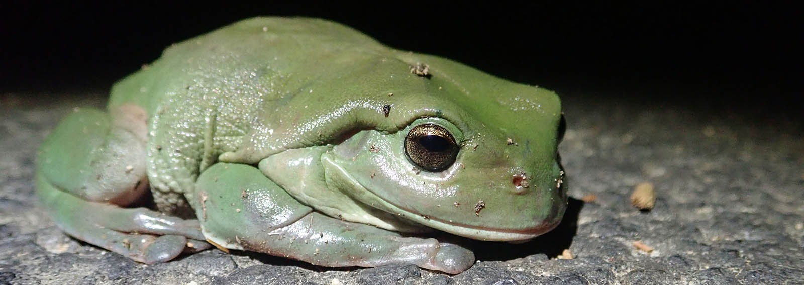 Green Tree Frog (image by Damon Ramsey)