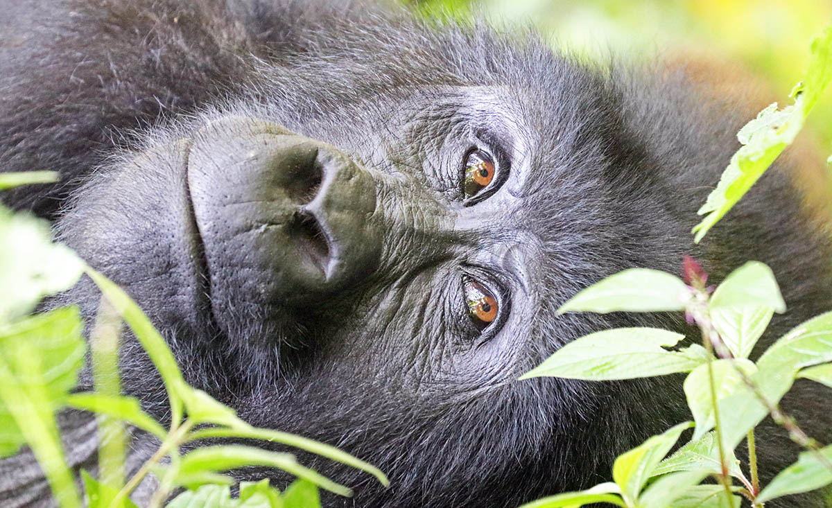 Mountain Gorilla (image by Damon Ramsey)